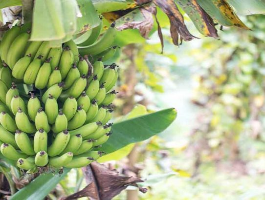 "The Banana ""Circle of Life"": Compost and Healthy Food in Perfect Harmony"